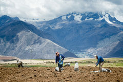 Farmers manually spread fertilizers on the plowed land. After planting potatoes. October 18, 2012 - Maras, Urubamba Valley, Peru Royalty Free Stock Photos