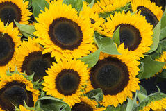 Farmers Market. Sunflowers at a farmers market in Minneapolis Stock Photos