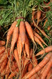 Farmers Market Carrots Royalty Free Stock Images