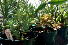 Farmers Market Plants - Succulents. Succulents grown locally at Venice FL Farmers Market royalty free stock photo