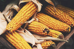 Farmers market - ripe corn cobs harvest Royalty Free Stock Photography