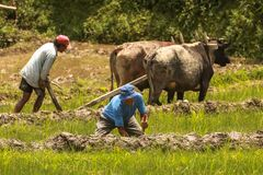 Farmers of Nepal ploughing their field for farming during monsoon season near Pokhara, Nepal.