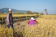 Farmers in Paddy Field Royalty Free Stock Photography