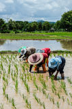 The farmers in the paddyfield. The farmers are working hard in the paddyfield in Thailand Royalty Free Stock Photo