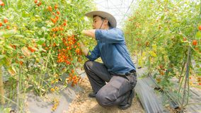 Organic tomatoes in her garden. stock images