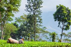 Farmers picking leaves from green shrubs by professional pruning machine. Lawang, Indonesia - July 16, 2018: Indonesian men work hard at highland tea plantation royalty free stock photos