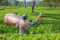 Farmers picking leaves from green shrubs by professional pruning machine. Lawang, Indonesia - July 16, 2018: Indonesian men work hard at highland tea plantation stock photos