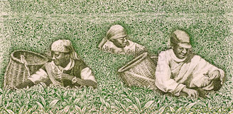 Farmers picking tea Stock Photography