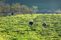 Farmers picking tea buds under nice sunlights Royalty Free Stock Images