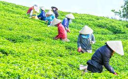 Farmers picking tea on plantation collective morning Royalty Free Stock Photo