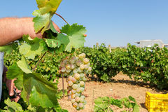 Farmers picking wine grapes during harvest at a vineyard Royalty Free Stock Photos