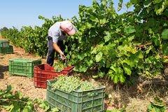 Farmers picking wine grapes during harvest at a vineyard Royalty Free Stock Photography
