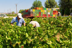 Farmers picking wine grapes during harvest at a vineyard Stock Images