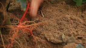 Farmers plant trees in the garden. The farmers plant trees in the garden stock video