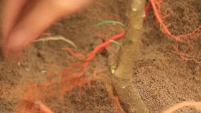 Farmers plant trees in the garden. The farmers plant trees in the garden stock video footage
