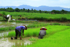 Farmers planting rice Royalty Free Stock Photography