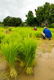 Farmers planting rice Stock Photo