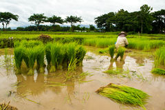 Farmers planting rice Stock Photography