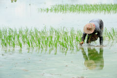 Farmers are planting rice in the farm Stock Images