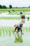 Farmers are planting rice in the farm Stock Photo