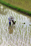Farmers planting rice in the farm Royalty Free Stock Photo