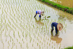 Farmers planting rice in the farm Stock Photos