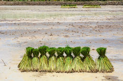 Farmers are planting rice Stock Photos