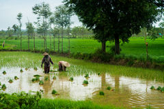 Farmers are planting rice in the farm. Indonesia Stock Image