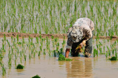 Farmers are planting rice in the farm. Royalty Free Stock Photo