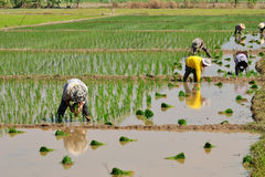 Farmers are planting rice in the farm. Stock Photos