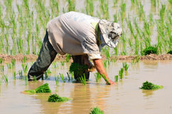 Farmers are planting rice in the farm. Stock Image