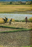 Farmers planting rice Royalty Free Stock Photos