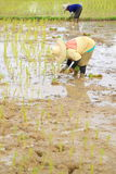 Farmers planting rice Royalty Free Stock Photo