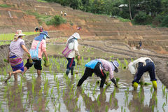 Farmers planting rice in terrace rice field Royalty Free Stock Photos
