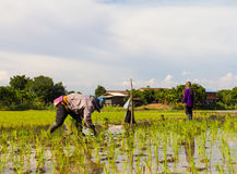 Farmers planting rice Stock Image