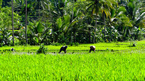 Farmers are planting rice traditionally Royalty Free Stock Photo