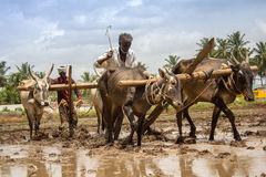 Farmers ploughing. The agriculture field for paddy Royalty Free Stock Images