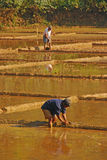 Farmers plowing their Paddy Fields Stock Image