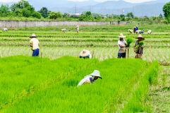 Farmers prepare seedlings of rice Royalty Free Stock Photography