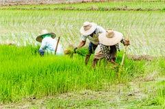 Farmers preparing rice seedlings Royalty Free Stock Image