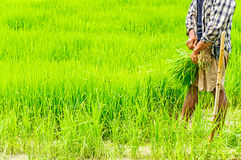 Farmers preparing rice seedlings Stock Photo