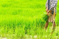Farmers preparing rice seedlings Stock Photo