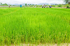 Farmers preparing rice seedlings Royalty Free Stock Photo