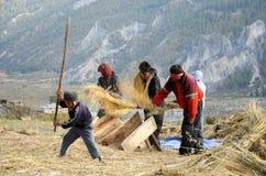 Farmers process cereals harvest, Nepal Stock Photos