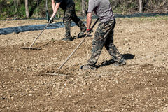 Farmers raking freshly rotovated or tilled soil. Farmers raking freshly rotovated, hoed or tilled soil preparing a bed for the planting of seedlings for the Stock Images