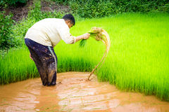 Farmers and rice Royalty Free Stock Photo