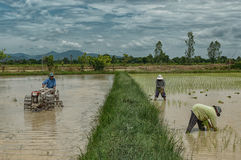Farmers in rice field. Plantation Stock Photos