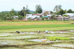 Farmers on rice field Royalty Free Stock Photos