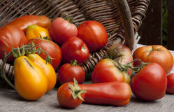Farmers ripe tomatoes in a basket Royalty Free Stock Photography