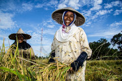 Farmers Smile. Smiles on the sidelines harvest rice, the rice production in 2013 is expected to rise in Indonesia than in 2012 Stock Image